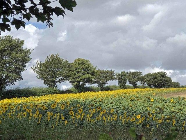 Sunflowers Hallington Lincolnshire Wolds