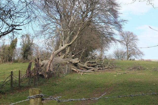 Tree fallen across field footpath