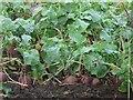 NZ2185 : Swede crop by Graham Robson