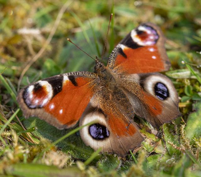 Butterfly, Bangor