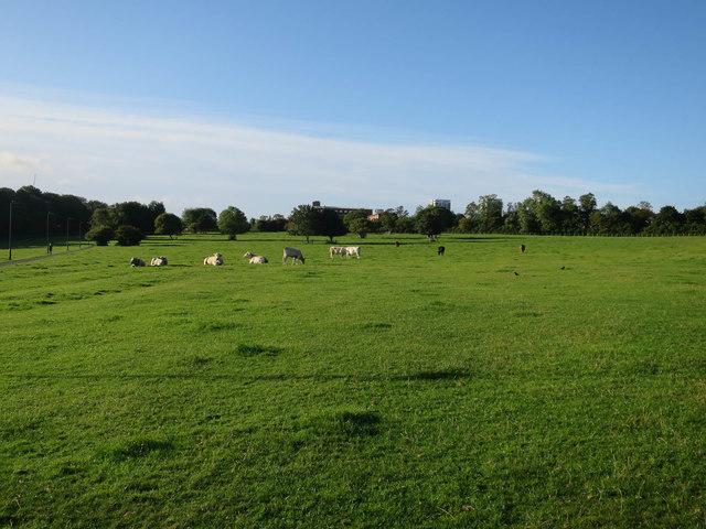 Cows in Castle Leazes