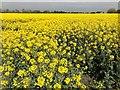 TF3701 : A field of oilseed rape near Goosetree Farm by Richard Humphrey