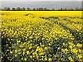 TF3701 : Oilseed rape crop near Goosetree Farm on the A605 by Richard Humphrey