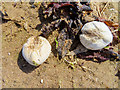 NS2341 : Sea potato shells on South Beach by Steve Daniels