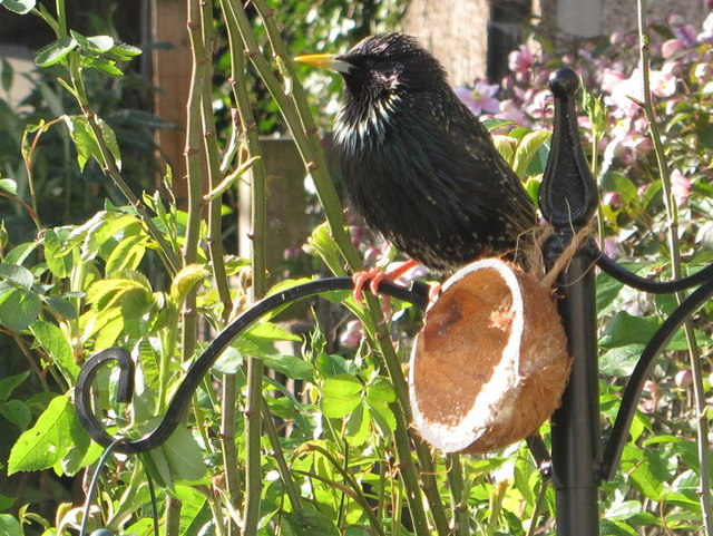Starling on half-coconut bird feeder, North Acton