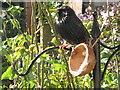 TQ2081 : Starling on half-coconut bird feeder, North Acton by David Hawgood