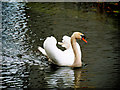 SD7807 : Manchester, Bolton and Bury, Mute Swan by David Dixon