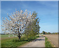 SU6093 : Cherry Tree by the Bridleway by Des Blenkinsopp
