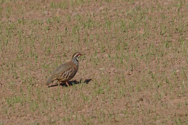 Red-legged Partridge (Alectoris rufa), Cappuck