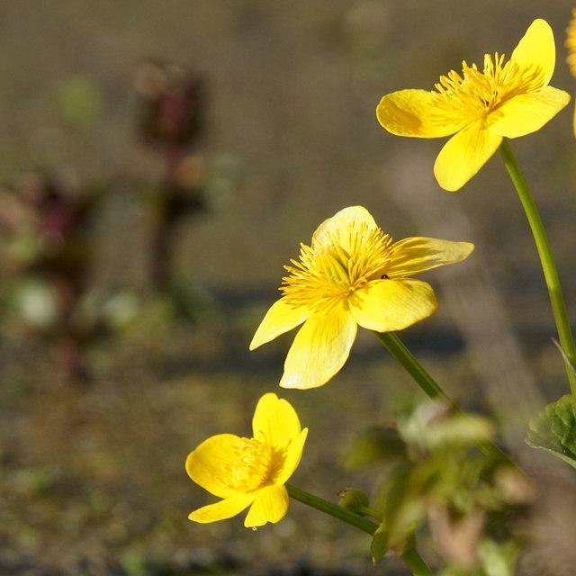 Marsh Marigold (Caltha palustris), Cappuck