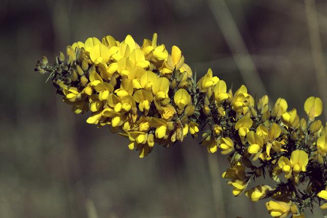 Gorse (Ulex europaea), Cappuck