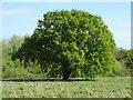 SO7842 : Oak tree new foliage by Philip Halling