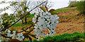 ST2986 : Wild cherry blossom, Gaer Estate, Newport by Robin Drayton