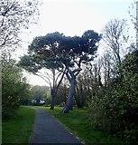J3731 : Scots pines in Newcastle's Islands Park by Eric Jones