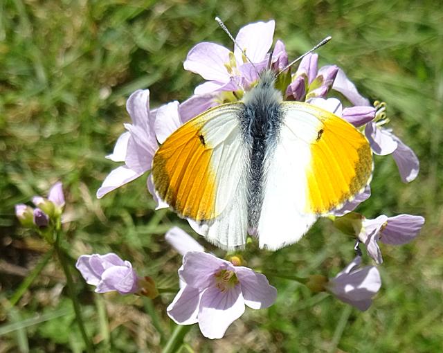 Orange Tip Butterfly on Cuckoo Flower