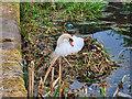 SD7908 : Swan nesting next to the towpath near Rothwell Bridge by David Dixon