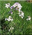 NJ3460 : Cuckoo Flower (Cardamine pratensis) by Anne Burgess