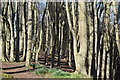 NJ8911 : Walking through the beech woods by Bill Harrison