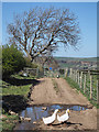 NZ0736 : Ducks and puddle along farm lane by Trevor Littlewood