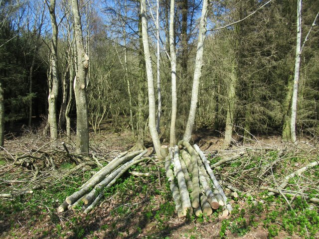 Arboreal management off Peatmans Loan by Gavinton in the Scottish Borders