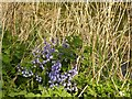 SK6436 : Bluebells alongside the Grantham Canal by Alan Murray-Rust