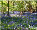 SU6493 : Bluebells in Rumbold's Copse by Des Blenkinsopp
