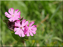 NT8754 : Red Campion by the Whiteadder Water by James T M Towill