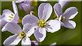 J5080 : Cuckoo Flower, Bangor by Rossographer