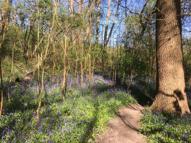 Bluebells in Teazle Wood