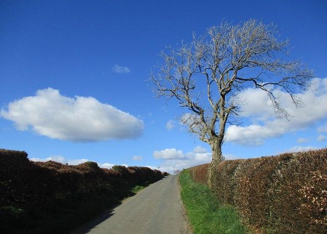 Tree near Whitecraigs road-end