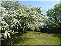 TQ4780 : Blossom inside a tump on Thamesmead by Marathon
