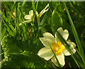 SX9065 : Primroses on the lawn, Torre by Derek Harper