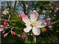 ST6269 : A bumper blossom by Neil Owen