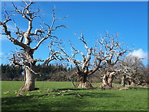SO4465 : Spanish Chestnuts at Croft Castle by John Sawbridge