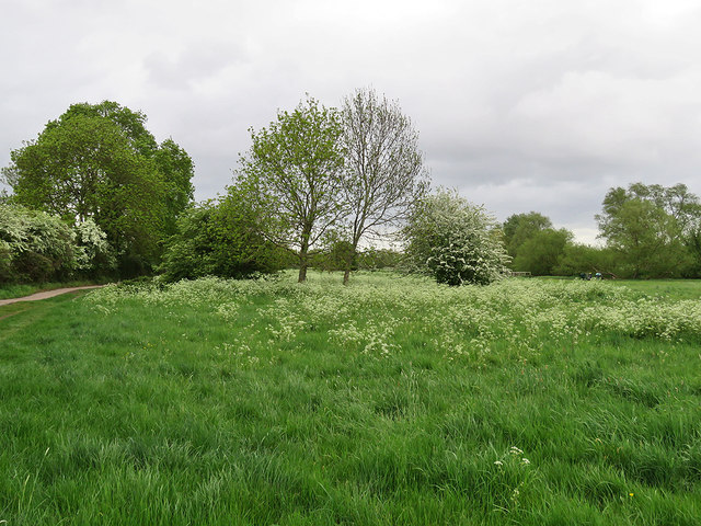 Grantchester Meadows: cow parsley