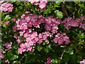 SK6337 : Pink Hawthorn by Alan Murray-Rust