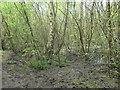 SE3520 : Ashfields carr, Southern Washlands nature corridor by Christine Johnstone