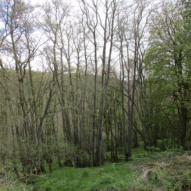 Hazel coppice in the Nethan Gorge