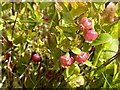 SN6816 : Whinberry flowers by Alan Hughes
