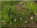 SK6436 : Ox-eye Daisy (Leucanthemum vulgare or Chrysanthemum leucanthemum) by Alan Murray-Rust