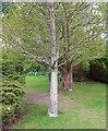 NO3901 : Maidenhair tree by Bill Kasman