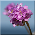 J5683 : Sea Thrift, Orlock by Rossographer