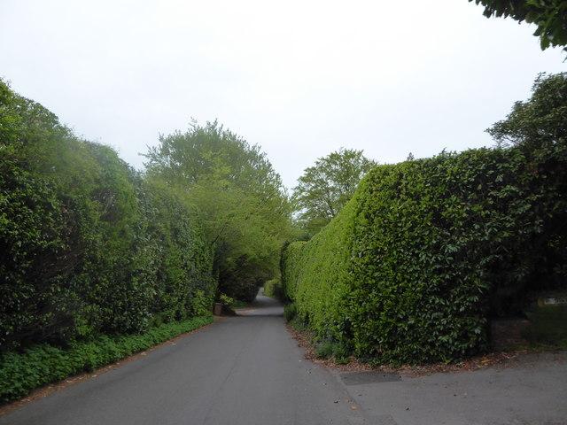High hedges in Scotland Lane