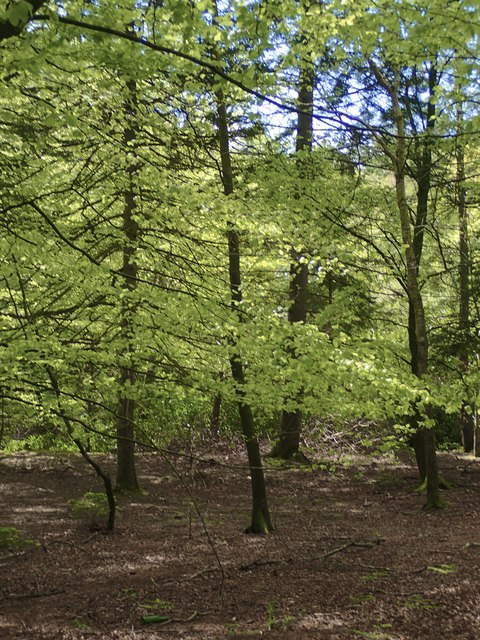 Newly clothed trees on the bank of the Shimna