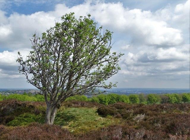 Lone tree at Brown Edge