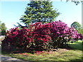TQ4778 : Rhododendron at Lesnes Abbey by Marathon