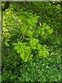 TF0820 : Small Oak Leaves by Bob Harvey