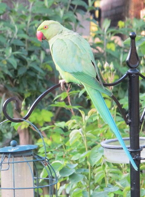 Parakeet on bird feeder, North Acton