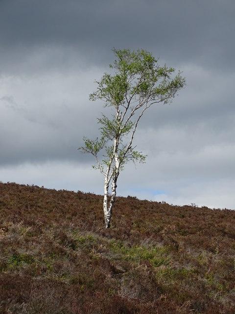 Lone birch tree on Sheep Hill