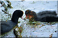 SD7807 : Adult and Juvenile Coots, Manchester, Bolton and Bury Canal by David Dixon